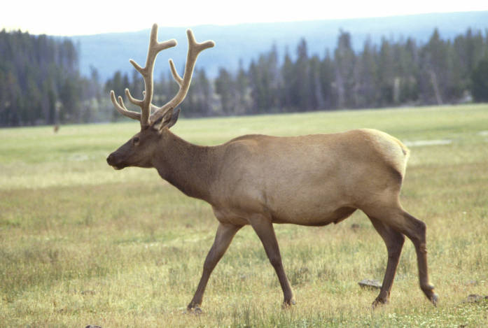 picture of elk in meadow